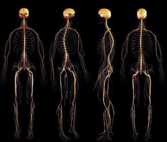 Visualização: Sistema Nervoso