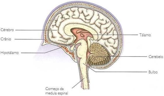 Visualização: Cérebro
